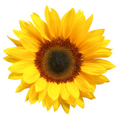 Wonderful Sunflower (Helianthus annuus) isolated on white background, including clipping path. Germany