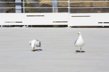 Couple de mouettes au port