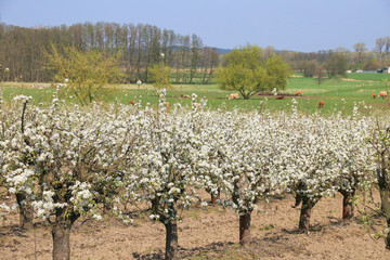 Obstplantage, Baumblüte, Kühe