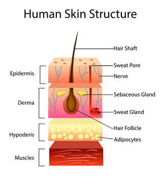 Human skin structure, vector illustration