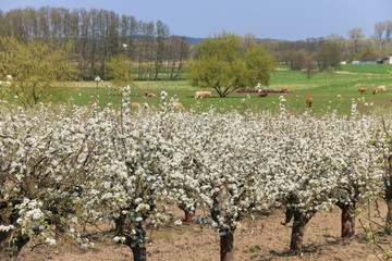Werder, Obstplantage, Apple tree blossom, cows