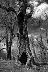 Old hollow tree