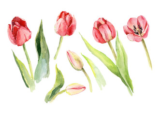 tulip flower watercolor illustration