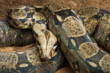 Beautiful Boa constrictor imperator - nominal Colombia. Colombian redtail boas – females