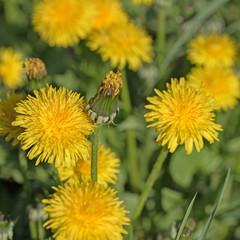 Blühender Löwenzahn, Taraxacum