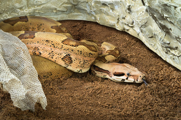 Boa constrictor imperator – mutational form Hypo Jungle. Albino – female. Snake next to her old skin