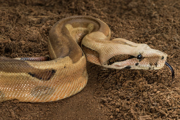 Boa constrictor imperator – mutational form Hypo Jungle. Albino – male. Snake shows her tongue