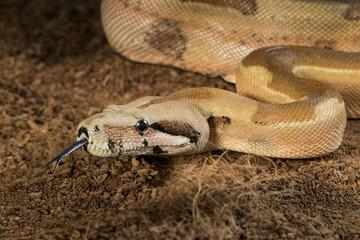 Boa constrictor imperator – mutational form Hypo Jungle. Albino – male