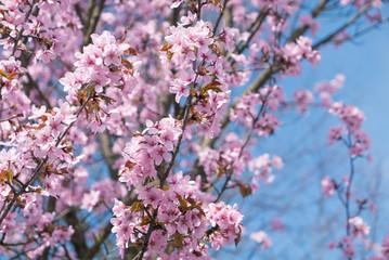 Cherry tree blossoming.