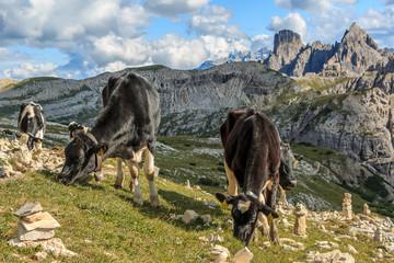 Kuh, Kühe auf einer Hochalm in den Dolomiten, Italien_004