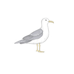 Sea gull similar clip art bird illustration on white background