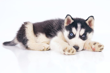 Cute black and white Siberian Husky puppy with different eyes lying indoors on a white background
