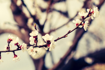 Branch of apricot tree in the period of spring flowering