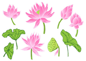 lotus flowers and leaves isolated on white background.