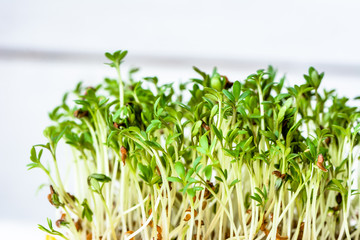 Fresh green superfood, sprouts for salad, micro greens for diet and healthy eating concept