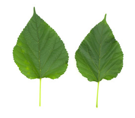 malberry green color leaves isolated on white back ground, can make tea
