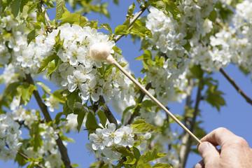 Handbestäubung - Tupfer - Kirschbaumblüte