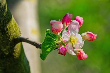 Wall Mural - Apfelblüte