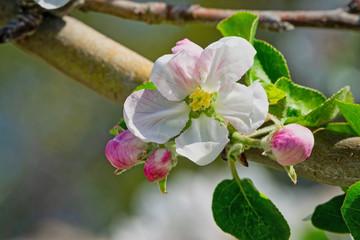 Fototapete - Apfelblüte