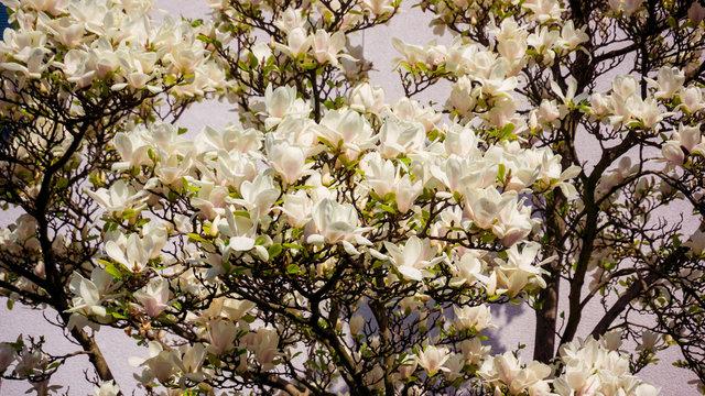Magnolia. Flowers. Blooming trees