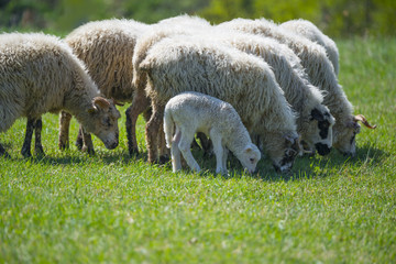 sheep flock with baby lamb on spring meadow