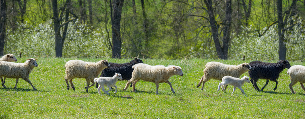 flock of sheep on a spring meadow