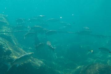 Long group of fish in sea underwater.
