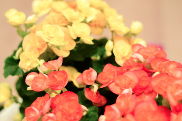 Pattern of beautiful natural red and pink begonia flowers, blooming in flower garden for background and wallpaper