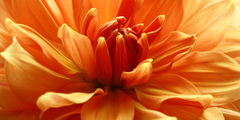 Petals in the salmon./Petals of a large flower a dahlia in salmon tones close up.