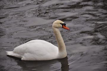 Swan floating on the spring water