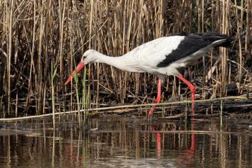 Beautiful stork walking on lake pond coast. Kiev Ukraine. Stork fishing on a lake.