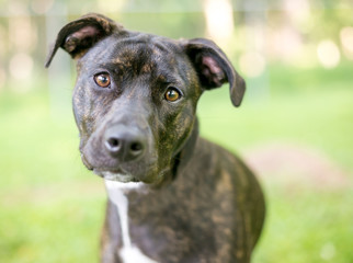 A brindle and white Pit Bull Terrier mixed breed dog listening with a head tilt