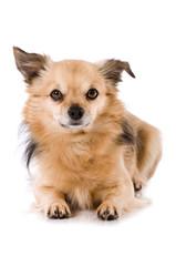 Kleiner Mischlingshund isoliert auf weißem Hintergrund