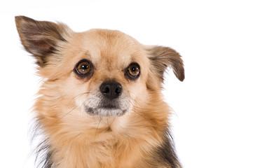 Kleiner Mischlingshund sieht nach oben isoliert auf weißem Hintergrund