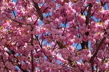 Wall Mural - Baum im Frühling