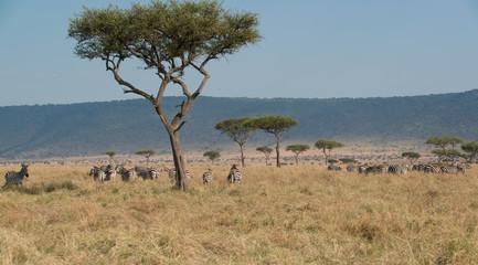 The Great Migration Maasai Mara Kenya