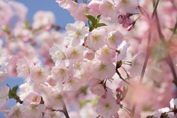 Spring background.Blossoming  sakura tree.beautiful nature background