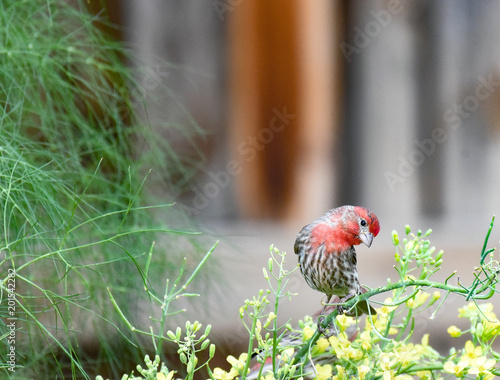 House Finch Stock Photo And Royalty Free Images On Fotolia