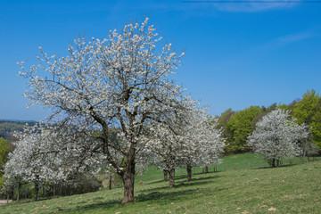 Wiese mit alten blühenden Kirschbäumen