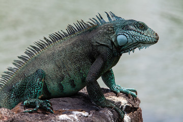Close up of a iguana resting in the sun.