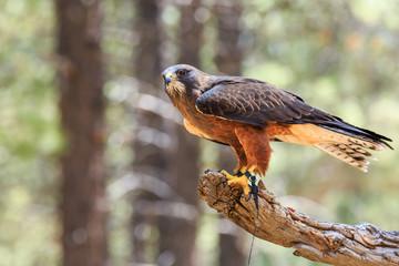 North America, United States, Oregon, Eastern Oregon, Bend. Swainson's hawk (Buteo swainsoni) dark morph. Captive.