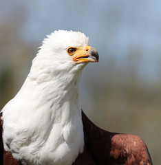 Portrait of an African Sea Eagle