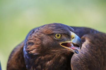 North America, United States, Oregon, Eastern Oregon, Bend. Golden Eagle (Aquila chrysaetos). Captive.