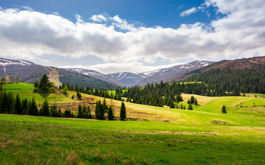 spruce forest on a grassy hillside. lovely springtime scenery of Carpathian mountains