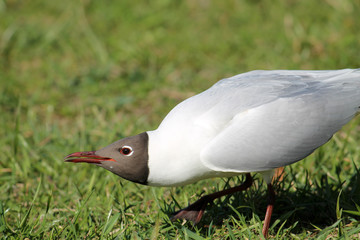 Adult Black-headed Gull in summer (alternate) plumage displaying the forward posture. Demonstration of aggression and willingness to attack