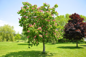 Pink flowers on red horse-chestnut tree