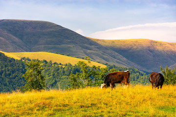 cows grazing near beech forest in mountains. lovely countryside landscape in summer