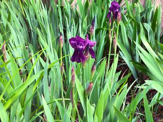Beautiful flowers of iris. Beautiful irises on green background. Iris plant in garden bloom in spring.