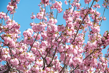 spring and beautiful cherries that bloom in the sun