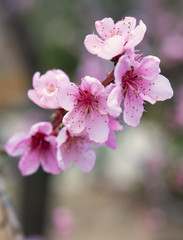 Pink Peach Tree Blossoms with Soft Focus Background